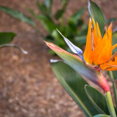 bird of paradise-bark mulch
