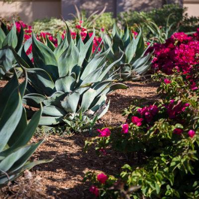 succulents-bougainvillea-bark mulch